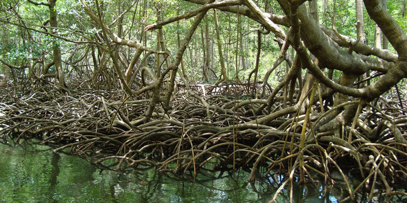 Halophytic Mangrove Vegetation