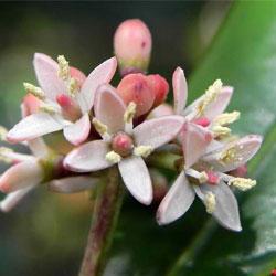 Phellinaceae