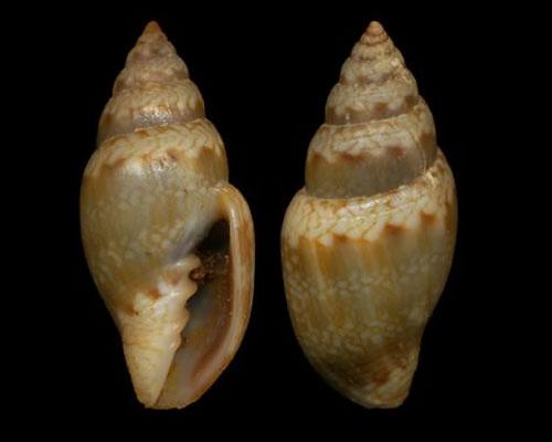 Volutomitridae